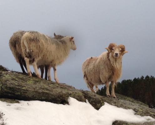 Villsauvêr på Vasslifjellet