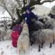 Sauene får ein godbit i snøen